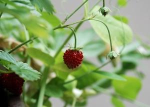 red-strawberry-1446151-m.jpg